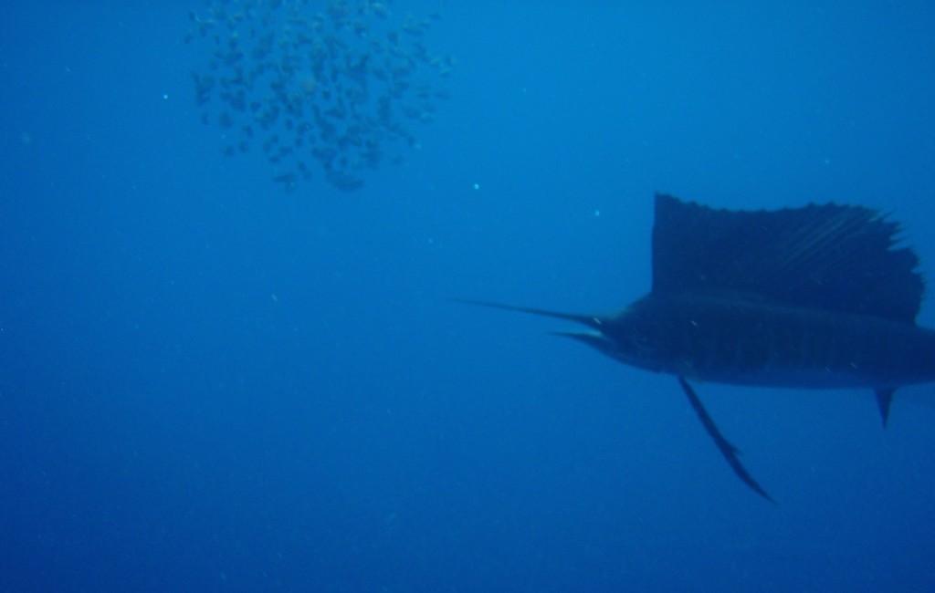 Photos Swordfish 1