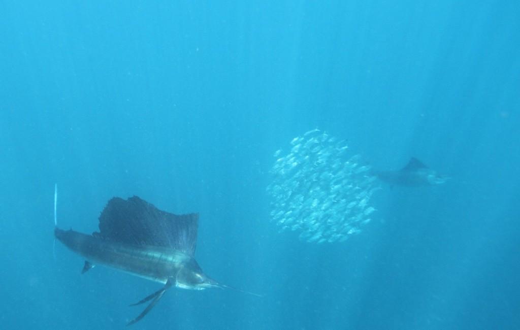 Photos Swordfish 10
