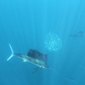Photos Swordfish 11