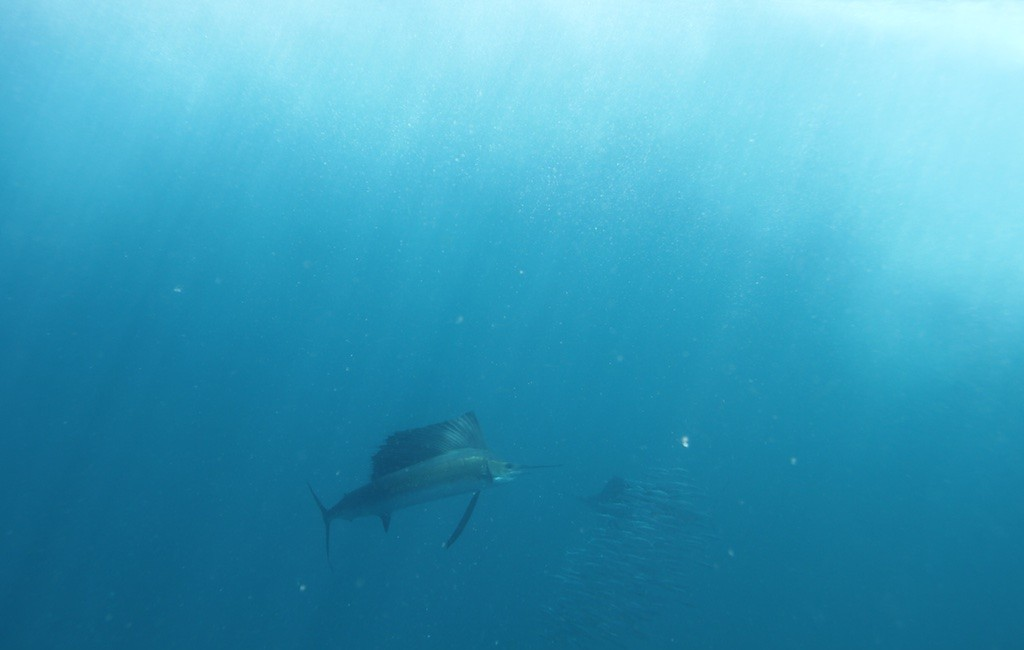 Photos Swordfish 13