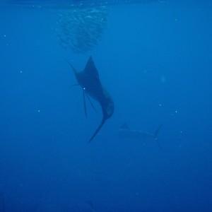 Photos Swordfish 2