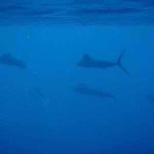 Photos Swordfish 3