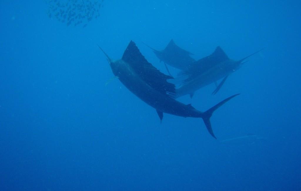 Photos Swordfish 4