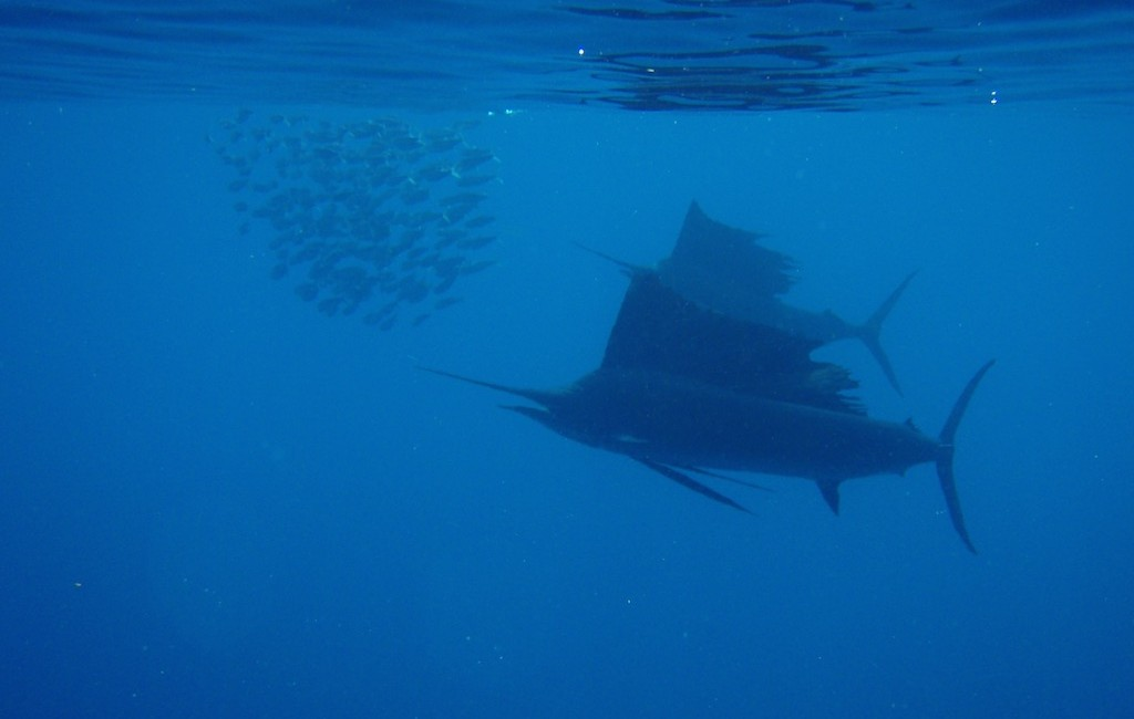 Photos Swordfish 5