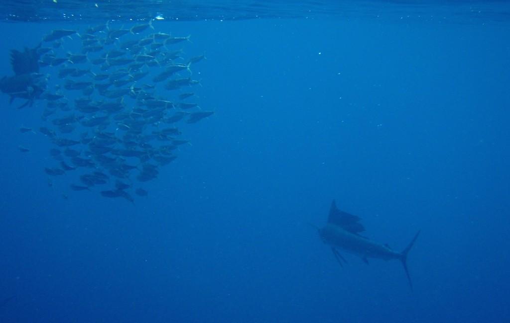 Photos Swordfish 6
