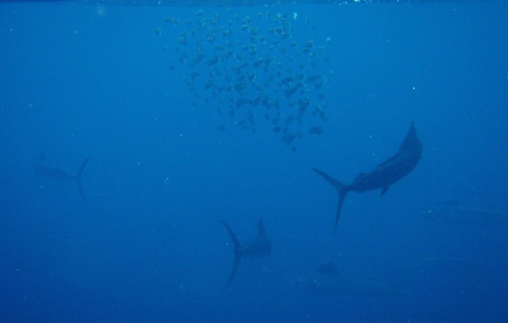 Photos Swordfish 7