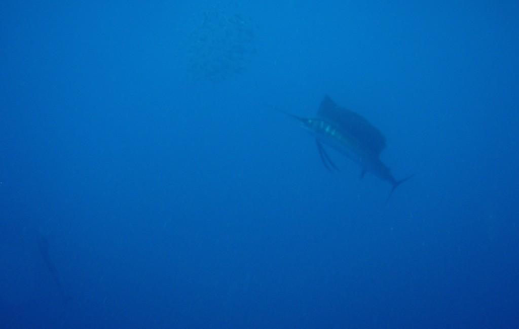 Photos Swordfish 8