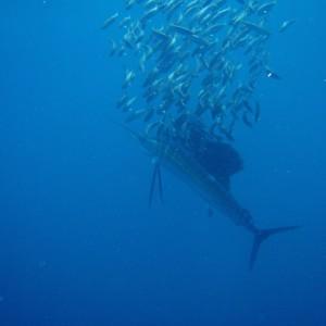 Photos Swordfish 9